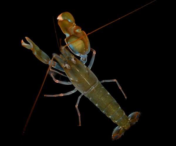 Snapping-Shrimp-Pistol-shrimp[1]